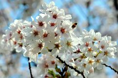 Cherry trees blooming in the park. Cherry trees blooming with white flowers in the park in the Chinese city of Dalian royalty free stock image