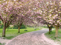 Cherry Trees in Blossom. Country Road Arched by Cherry Trees in Blossom Stock Photography