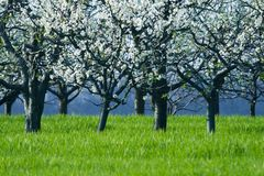 Cherry trees in blossom Royalty Free Stock Photo