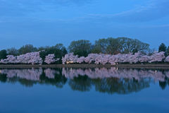 Cherry trees in blossom around Tidal Basin, Washington DC. Cherry trees in full blossom at dawn around Tidal Basin in Washington DC Stock Photo