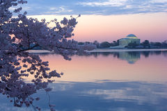 Cherry trees in blossom around Tidal Basin, Washington DC. Thomas Jefferson Memorial and Tidal Basin at dawn surrounded by blossoming cherry trees in Washington Royalty Free Stock Photos