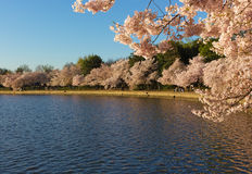 Cherry trees blossom around Tidal Basin in Washington DC, USA. Stock Image