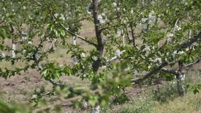 Garden is full of cherry-trees in blossom. Cherry-trees are in blossom. Stabilized camera movement stock video