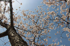 Cherry trees are blossoming in a public garden in Amanohashidate (Japan) Royalty Free Stock Photography