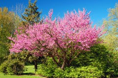Cherry Trees blossoming Royalty Free Stock Image