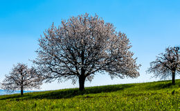 Cherry trees blossoming Stock Photos