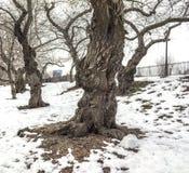 Cherry trees Central Park, New York City Stock Photo