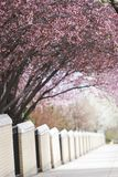 Cherry Trees Cover Sidewalk Stock Photography