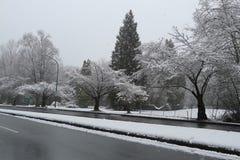 Cherry Trees Covered com neve na estrada Fotos de Stock