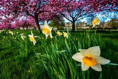 Cherry Trees and Daffodils royalty free stock photos