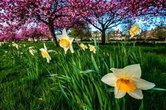 Cherry Trees e narcisos amarelos fotos de stock royalty free