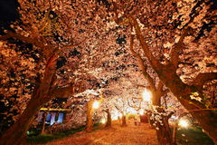 Cherry trees at evening Stock Images