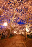 Cherry trees at evening Stock Photos