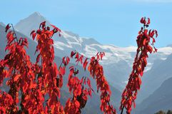 Cherry Trees in the fall in the Swiss Alps. Wild cherry trees turning red in the fall in Switzerland. In the background the Dent Blanche, and the Ferpecle Royalty Free Stock Images