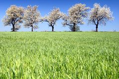 Cherry-trees and fields Royalty Free Stock Photos