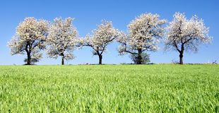 Cherry-trees and fields Stock Image