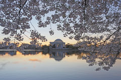 Cherry trees frame the Jefferson Memorial Stock Images