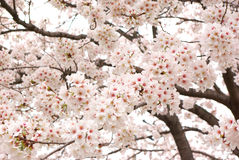 Cherry trees in full bloom. stock images