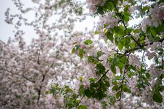 Cherry trees in full bloom in Montreal stock photography