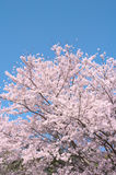 Cherry trees in full blossom. Stock Photography