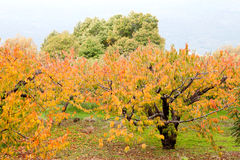 Cherry trees full of yellow leaves Royalty Free Stock Image