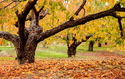 Cherry trees full of yellow leaves Stock Photography