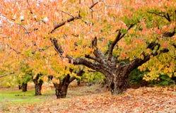 Cherry trees full of yellow leaves Stock Photo