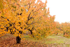 Cherry trees full of yellow leaves Stock Photos