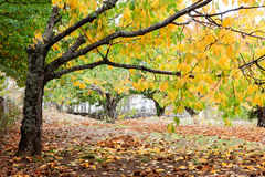 Cherry trees full of yellow leaves Royalty Free Stock Photography