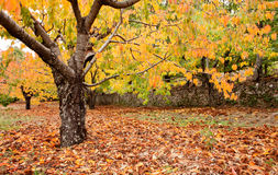 Cherry trees full of yellow leaves Royalty Free Stock Photos