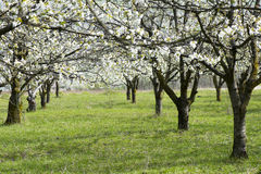 Cherry trees fully blossomed Stock Image