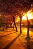 Cherry Trees, Golden spring sunset stock images