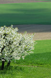 Cherry trees and green fields Stock Images