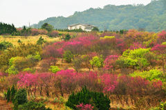 Cherry trees on a green lawn. In Taiwan Royalty Free Stock Image