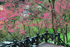 Cherry trees on a green lawn. In Taiwan Royalty Free Stock Photos