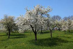 Cherry trees on a green meadow Royalty Free Stock Photography