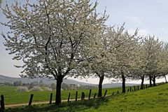 Cherry Trees In Spring, Lower Saxony, Germany Royalty Free Stock Photo