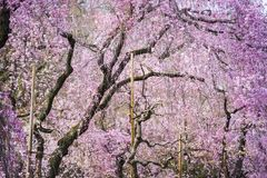 Cherry Trees Stock Image