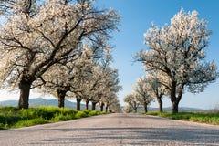 Cherry trees line Stock Photo
