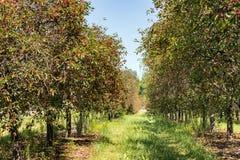 Cherry Trees met Rijpe Kersen Stock Afbeeldingen
