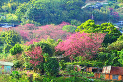 Cherry trees on the mountain. In the countryside Stock Image