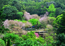 Cherry trees among the mountain. In Taiwan Royalty Free Stock Image