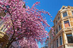 Cherry trees in the old town of Bonn, Germany Stock Photo