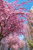 Cherry trees in the old town of Bonn, Germany Stock Photography