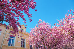 Cherry trees in the old town of Bonn, Germany Stock Images