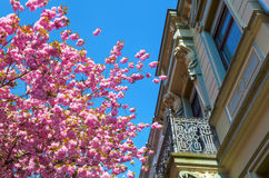 Cherry trees in the old town of Bonn, Germany Royalty Free Stock Images