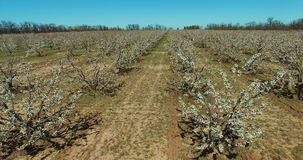 Cherry trees orchard blooming in the spring. Aerial. Cherry trees orchard blooming in the spring. View from above. Shooting the droning stock video footage