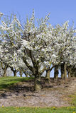 Cherry trees - orchard stock image