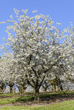 Cherry trees. In an orchard - detail View Stock Photography