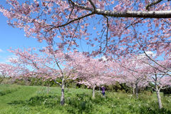 Cherry trees orchard oblossom Royalty Free Stock Photography
